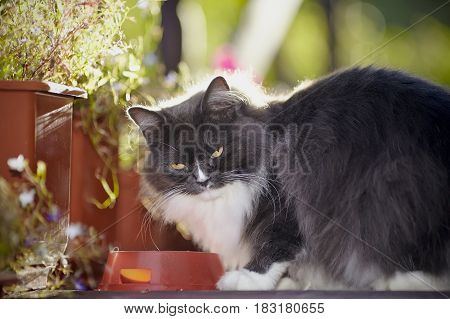 Portrait of a fluffy cat of a smoky color among flowers with a bowl.