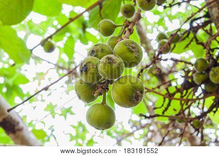 Closeup To Raw Cluster Fig/ Goolar (gular)/ Ficus Racemosa L. / Moraceae