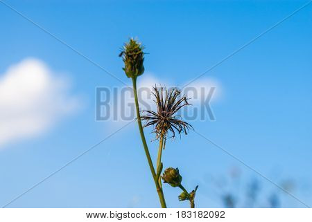 Closeup To Dried Gold Beard Grass/ Chrysopogon Aciculatus (retz.) Trin./ Poaceae/ Gramineae
