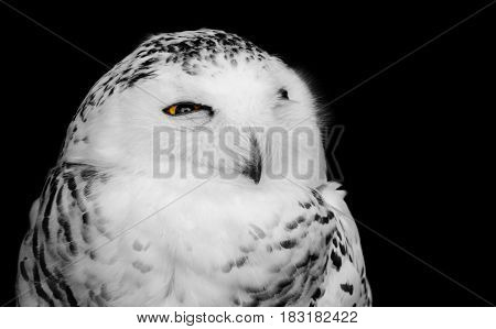 Black and white bird of prey portrait of a snowy owl with one yellow eye open, isolated against a dark background