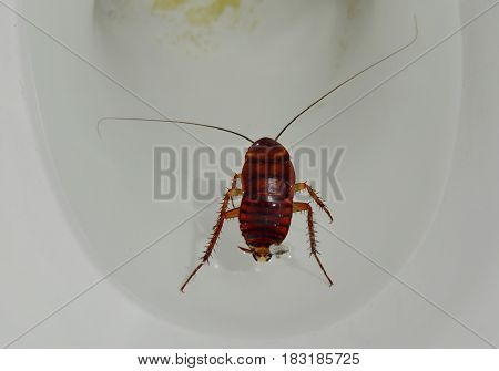 Australian cockroach drown and floating in toilet cesspool
