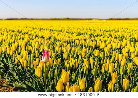 One red-white flowering tulip bloom on the edge of a large flower bed with only yellow tulips at a specialized Dutch bulb grower. It is early in the morning on a sunny day in the beginning of the spring season in the Netherlands.