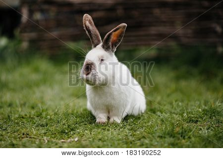 Young White Rabbit In Green Grass In Spring.