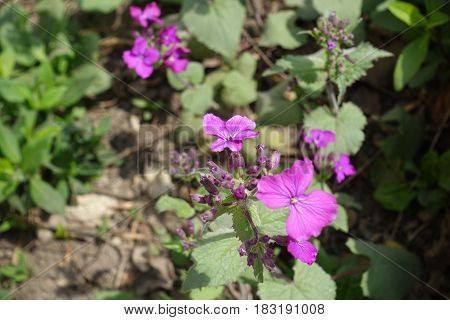 Close Up Of Violet Flowers And Buds Of Lunaria Annua