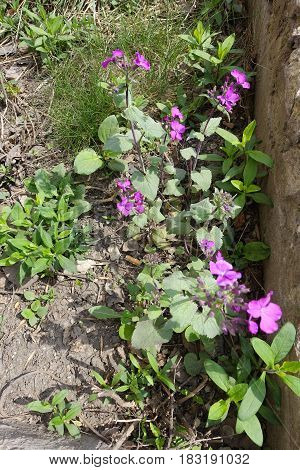 Uncultivated Lunaria Annua With Bright Violet Flowers