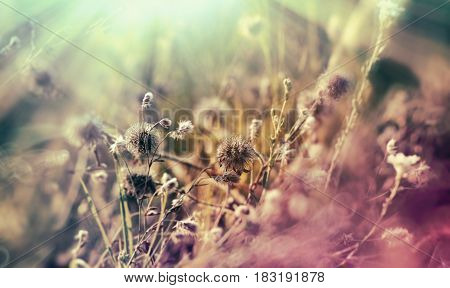 Dry flowers and dry seed of flower in meadow lit by sun rays