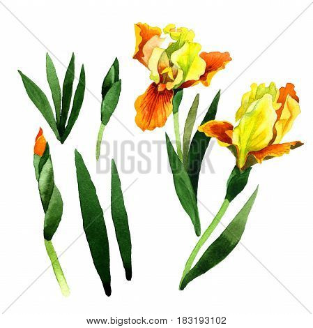 Wildflower iris flower in a watercolor style isolated. Full name of the plant: irises. Aquarelle wild flower for background, texture, wrapper pattern, frame or border.