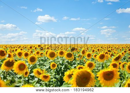 Field of sunflowers. Summer landscape. Sunflower harvest. Bright Flowers