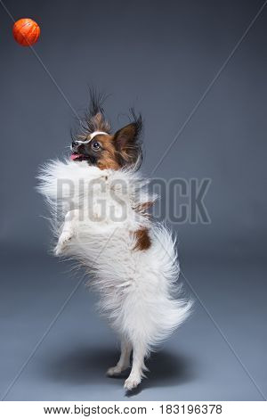 Studio portrait of a small yawning puppy Papillon on gray background with ball