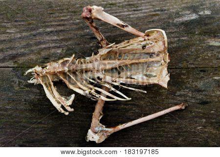 Bones of a dead bird skeletal remains