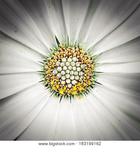 White daisy gerbera flower. Close-up of gerber flower. Isolated with selective focus.