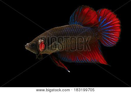 Isolated colorful male fighting fish on black background