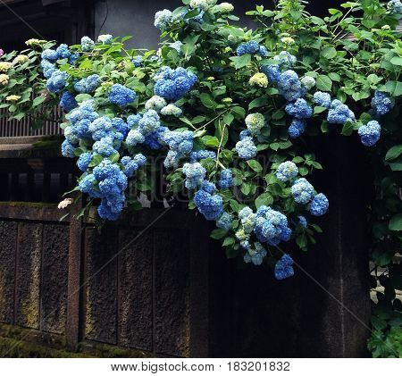 Hydrangea is a kind of flower that is adorable.
