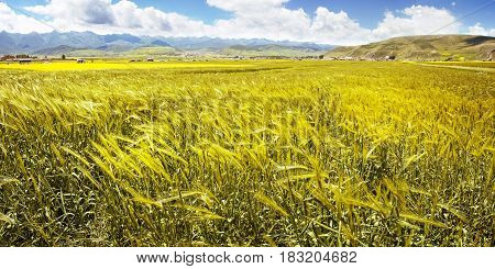 Panorama Of The Yellow Ears Of Wheat In The Valley Of Flowers