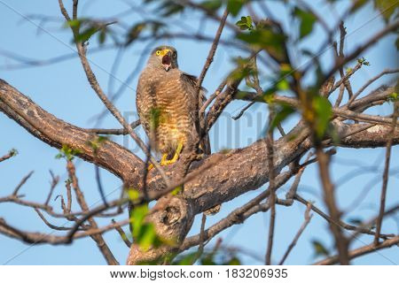 Roadside hawk (Rupornis magnirostris) sits on the tree and squeaking