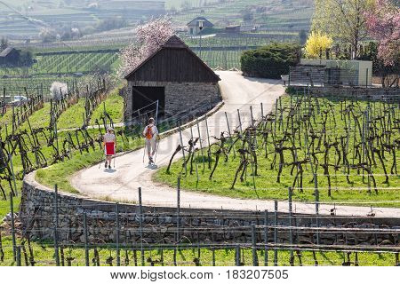 WEISSENKIRCHEN/ AUSTRIA - APRIL 1, 2017. Nordic walking among the vineyards of the Wachau valley. Lower Austria.