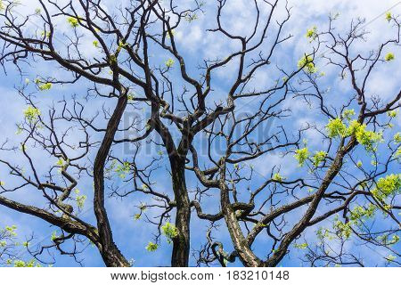 Close-up of a Big blooming Tree in Spring. Branches of a old Tree