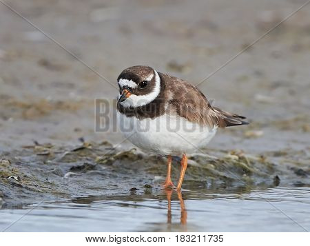 Common ringed plover in its natural habitat