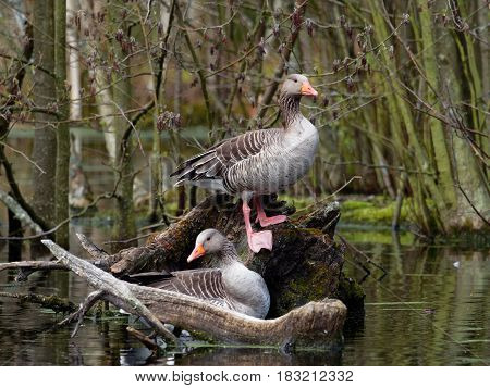 Pair of Greylag Goose pose for the photographer