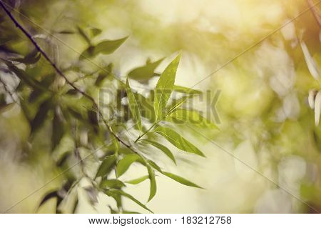 Blurred abstract background with bokeh with branches of willow.