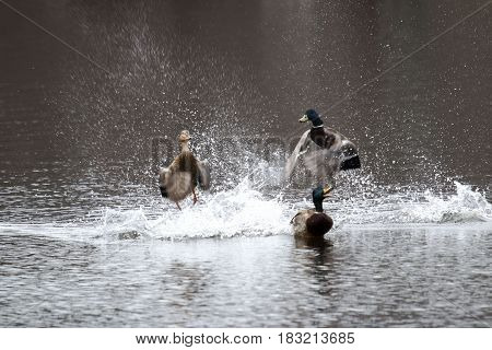 Two male mallard ducks fight over a female at a local state park in new york