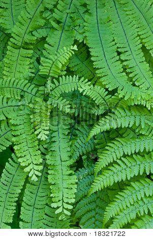Maidenhair Fern (Adiantum pedantum) typically found in the Pacific Northwest. poster