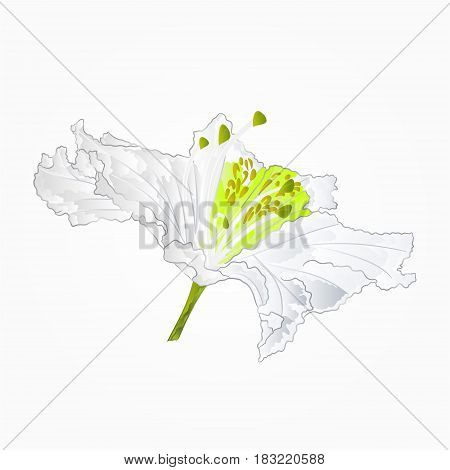 Blossoms white rhododendron sixth Mountain shrub vector illustration