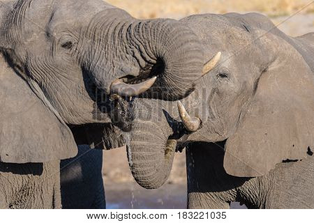 Couple of African Elephant young and adult at waterhole. Wildlife Safari in the Chobe National Park travel destination in Botswana Africa.