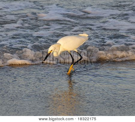 A snowy egret fishing in the shallow waters of the ocean in beautiful morning light. poster