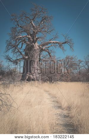Huge Baobab Plant In The African Savannah With Clear Blue Sky. Botswana, One Of The Most Attractive