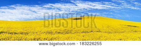golden field of flowering rapeseed canola or colza with beautiful clouds on sky - brassica napus - rapeseed is plant for green energy and oil industry