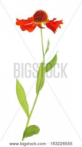red color flower isolated on white background