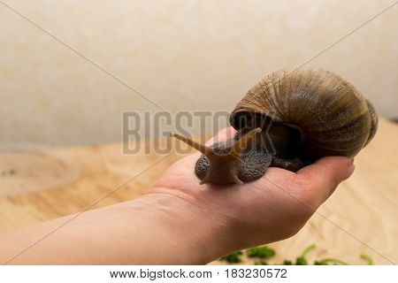 African Achatina snail in hand at home close up