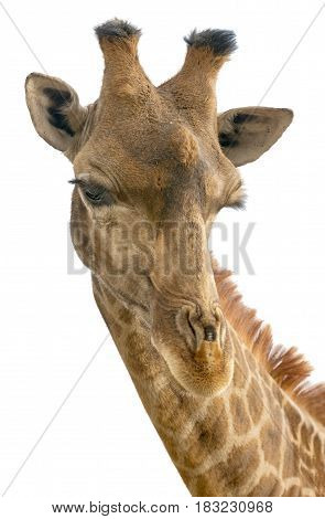 Giraffe head face isolated on white background