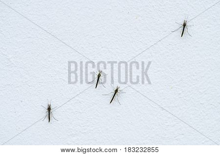 Macro view of several mosquitoes on gray wall outside the building close up