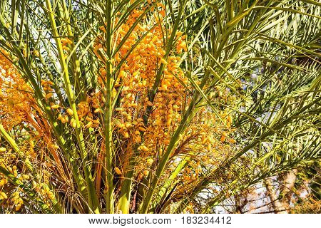 Date Palm laden with dates. Ripe dates on the palm tree