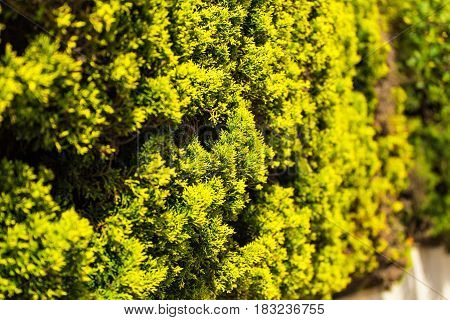 Branches Thuja background green tree. Green plant background, close up