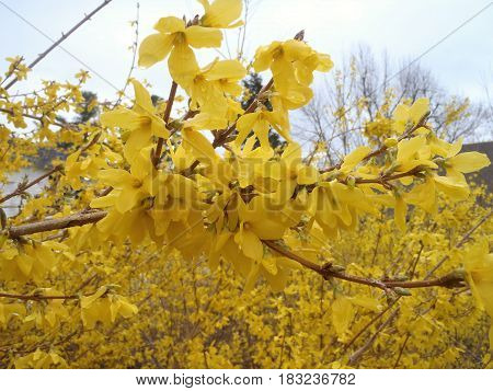 This forsythia branch is a close-up of a flower cluster with untamed background.
