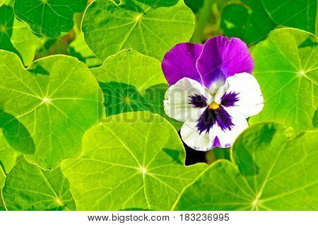 Summer flower background with blooming summer pansy flower at the flowerbed. Garden pansy flower among the bright green leaves - summer flower landscape. Selective focus at the pansy flower