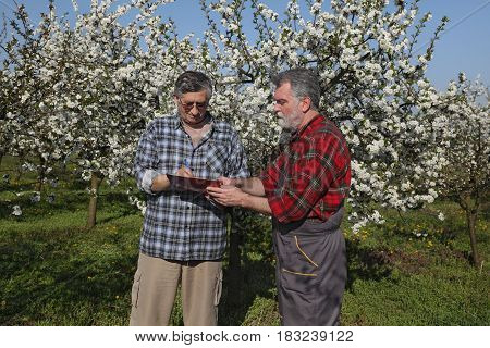 Farmer And Agronomist In Blossoming Cherry Orchard