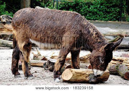 Poitou donkey playing with log on rainy day