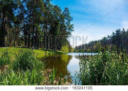 Forest lake with small canes in sunny day