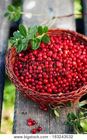 Fresh ecological lingonberry from in the basket