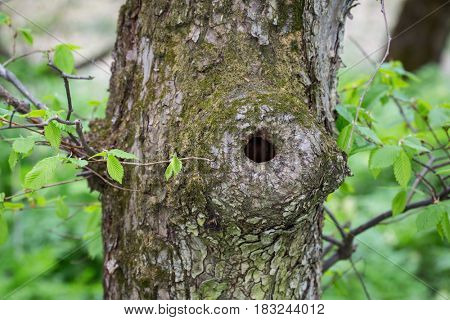 hollow of a tree trunk in spring forest