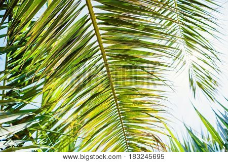 Palm green leaves in tropics, natural texture. Palm and sun