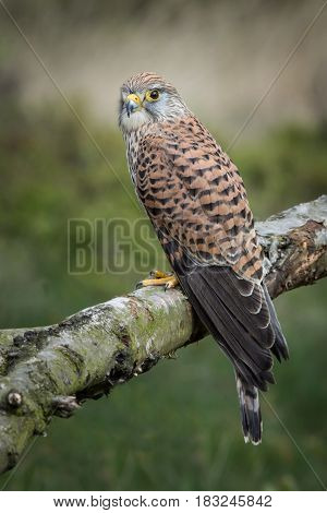 upright vertical photograph of a kestrel perched on a branch outdoors side view