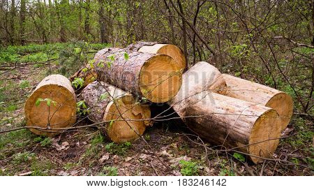 Wooden logs in spring forest