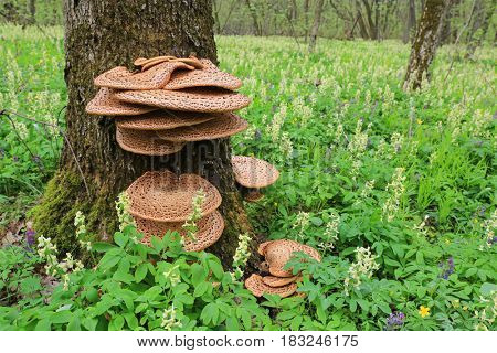 Mushroom Polyporus squamosus on a tree in the spring forest