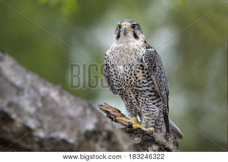 A portrait of a hybrid peregrine and saker falcon perched on a tree branch looking forward