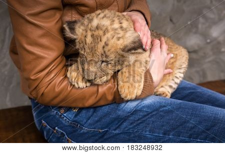 lion cub in the hands of a young girl